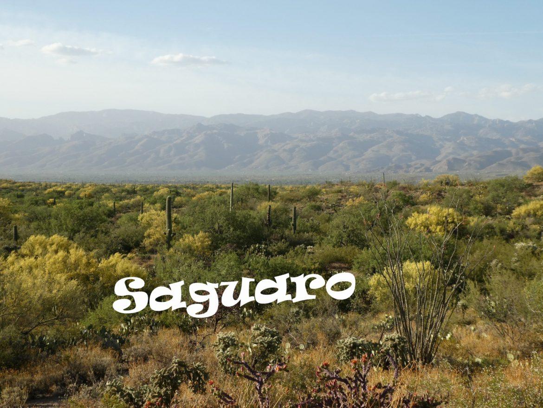 Park Narodowy Saguaro- zielona pustynia Arizony